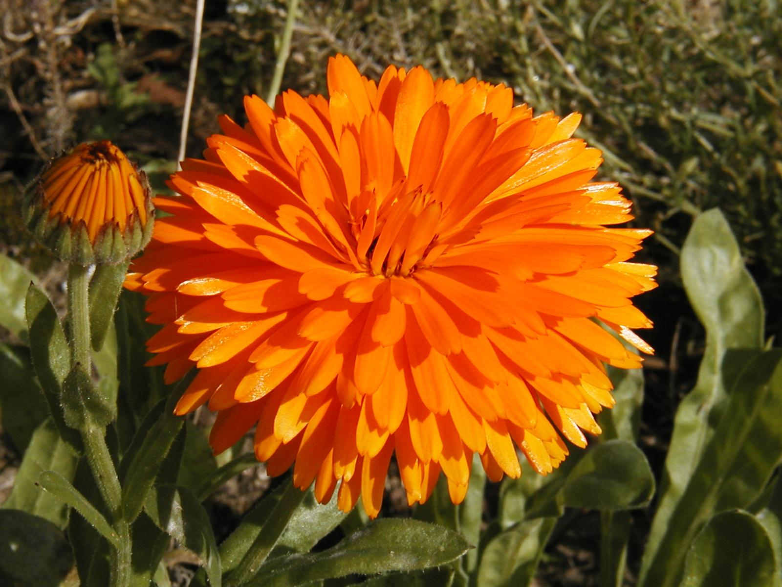 Coutumes des st venistes for Plantation de fleurs