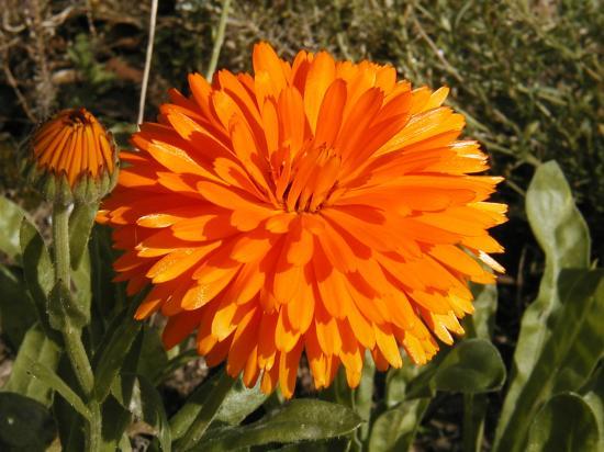 Fleur Souci